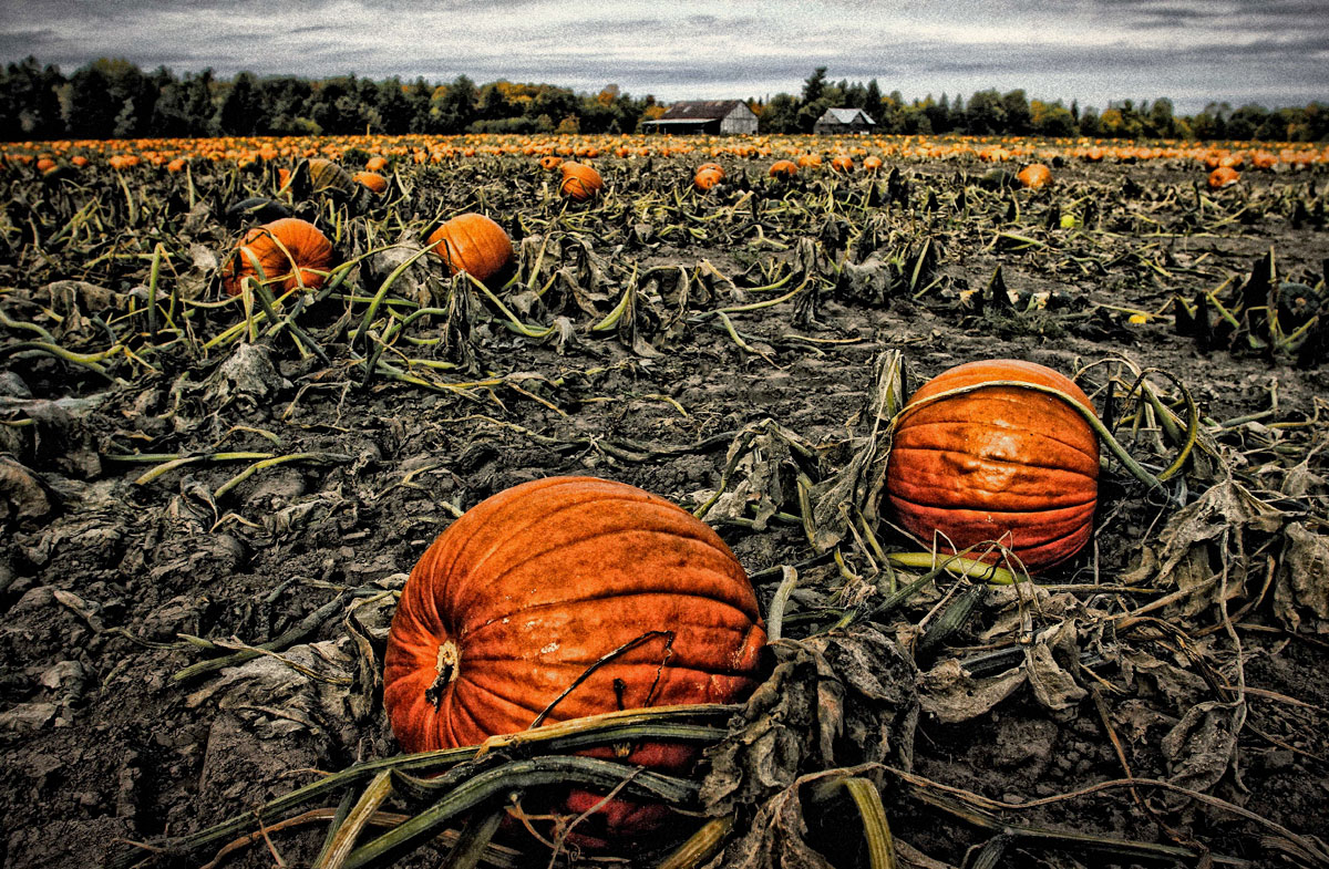 Pumpkins off Upper Dyer Road. Photo by Barry Gray.