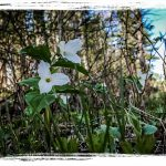 PHOTO: Trilliums along the trails