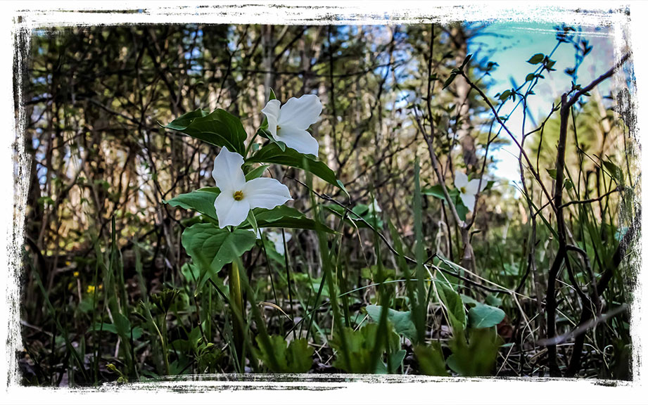 Trilliums, just off the trails near Carp. Photo by Barry Gray.