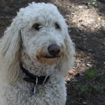 "HOLLY THE GOLDENDOODLE: ""Credible"" sighting near Fallowfield/Huntley"