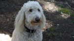 Holly the Goldendoodle
