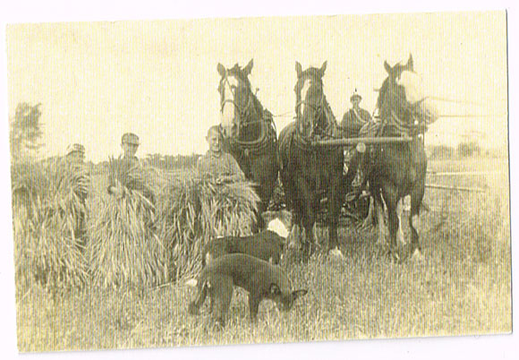 Three horses pull a grain binder.  Probably on the the James farm.