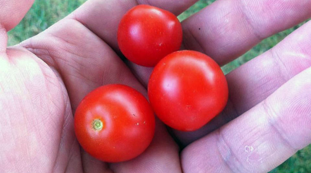 Logan Primeau holds a handful of cherry tomatoes from his garden last year.