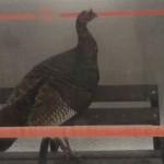 VIDEO: Wild turkey in a bus shelter in Stittsville