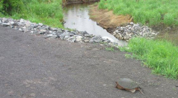 A turtle on the Trans Canada Trail back in June. Photo via Ken McRae.