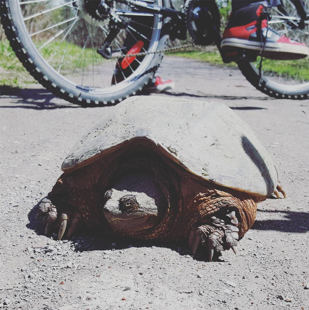 We spotted this guy (or gal?) on a path near Poole Creek on the weekend.  It's a snapping turtle, and they're a common sight in Stittsville near creeks and marshes at this time of year.  Don't get too close though - these guys won't hesitate to snap if they feel threatened.  In late May and early June, you'll start to see mother turtles burying their eggs in the sand at local playgrounds, and then the turtles hatch in September.