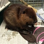 LINKED: Stittsville resident helps taxi a sick beaver