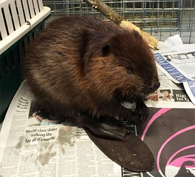 Mac the beaver