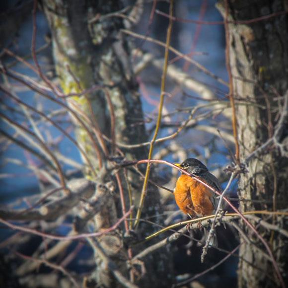 """""""Robin"""", by Kristy Wilson"""