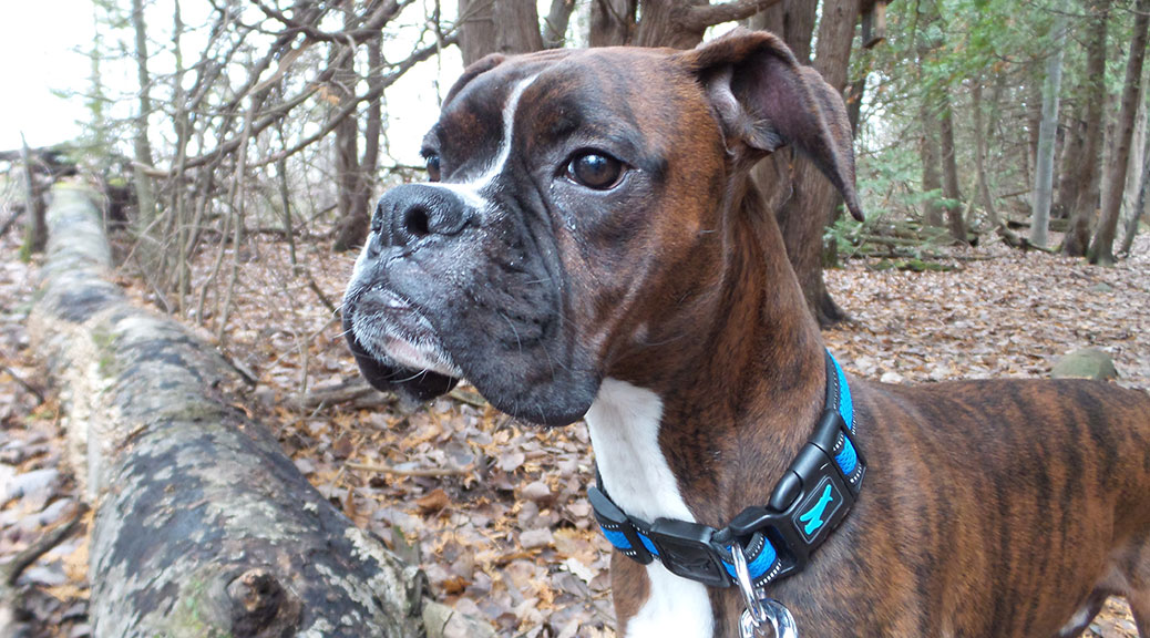 Roscoe the Boxer
