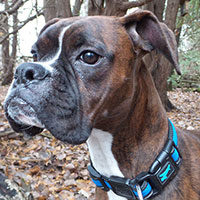 Roscoe the Boxer, our canine affairs columnist