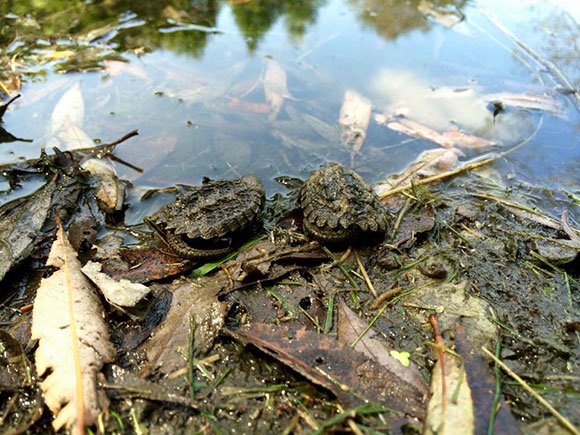 Turtles hatch at Stitt Street Park