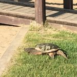 Stitt Park snapping turtle is back!