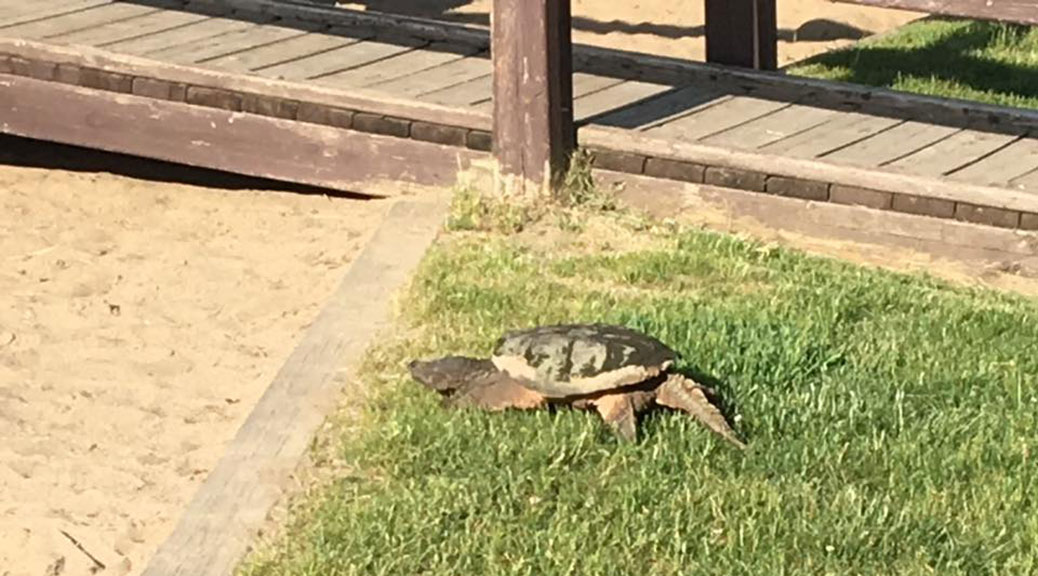 Stitt Park turtle, seen on Saturday, June 3. Photo by Jean-Michel Bastien via Facebook.