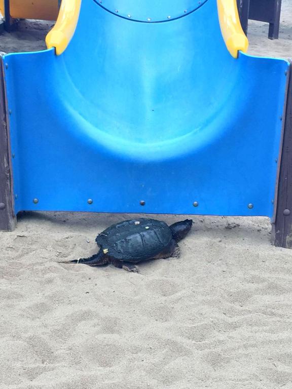 Turtle at Stitt Street Park, 2017
