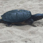 PHOTOS: Turtle returns to Stitt Street Park