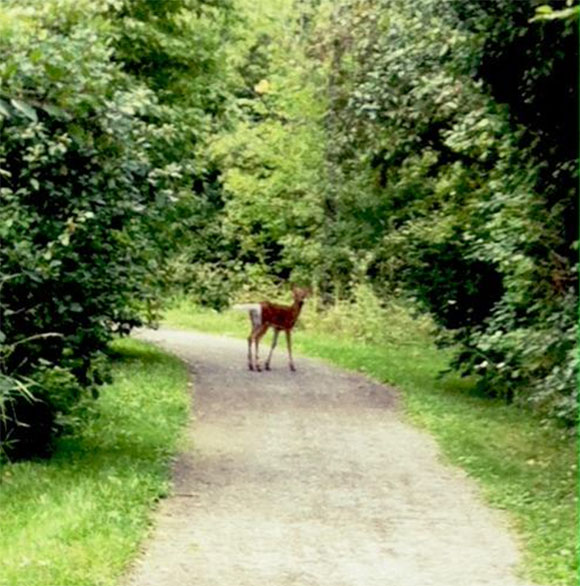 Deer on the Trans Canada Trail.  Photo by Lara Winnemore