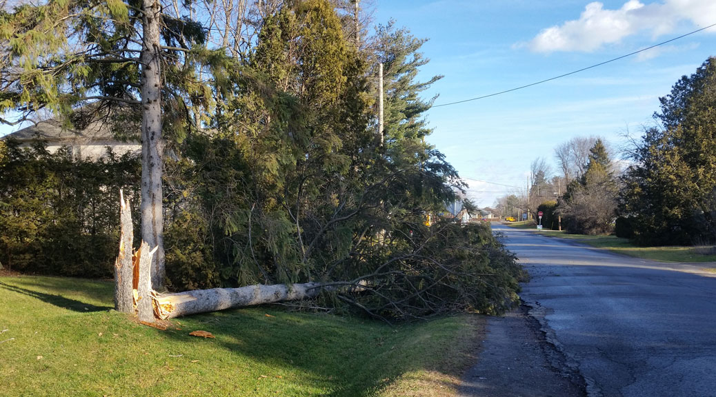 Tree down near Elm & Goulbourn. Photo via Mitch Pommainville