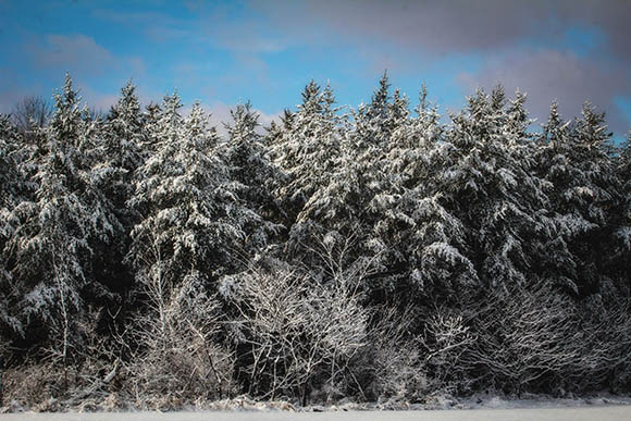 Pine forest covered with overnight snow.  Ashton Station. Photo by Barry Gray.
