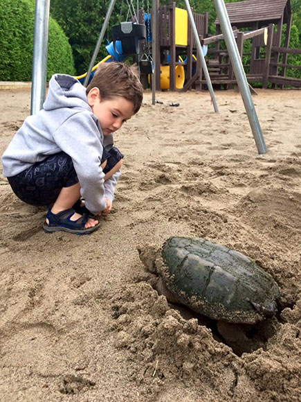 Snapping turtle lays eggs at Stitt Street Park. Photo by Karla Torres.