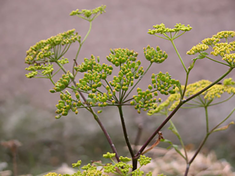 Wild Parsnip. Photo via the City of Ottawa.